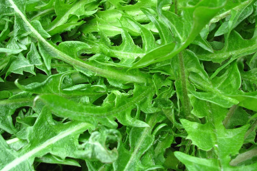 Dandelion-greens-as-a-substitute-for-arugula